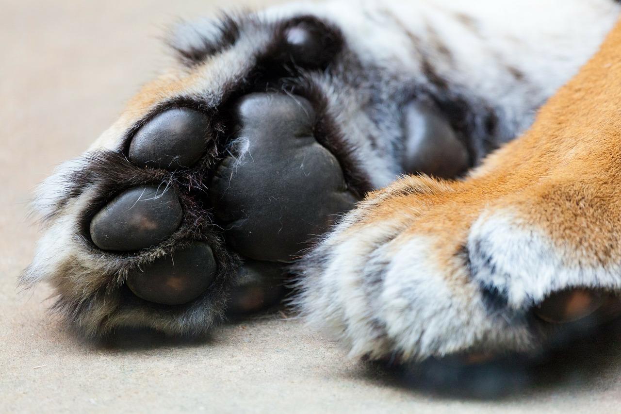tiger-214748_1280